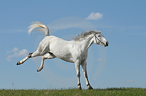 Grey Horse Playing On Grass Stock Photo - Image: 14707110