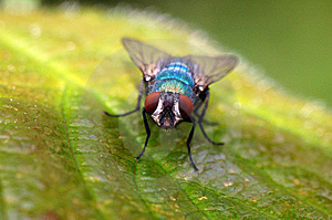 Fly On A Leaf Macro Stock Photo - Image: 14708790