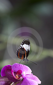 Butterfly On Pink Orchid Stock Photos - Image: 14709173