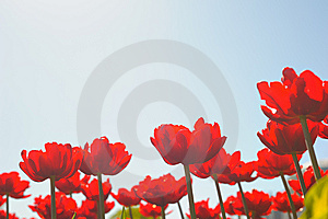 Many Red Tulips Stock Images - Image: 14710064