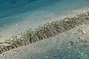 Schooling Striped Fish. Stock Images - Image: 14710784