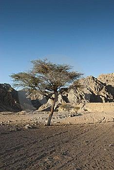 Albero dell 39 acacia nel deserto del sinai fotografia stock for Acacia albero