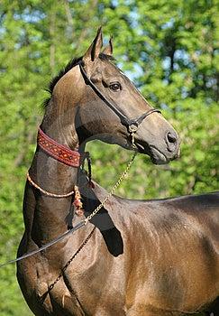 Portrait Of Akhal-teke Stallion Royalty Free Stock Images - Image: 14711609
