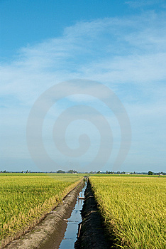 Paddy Field Stock Photo - Image: 14718600