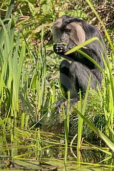 Lion-tailed Macaque Stock Photos - Image: 14722833