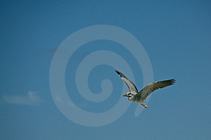 Flying Heron Royalty Free Stock Photography - Image: 14728527