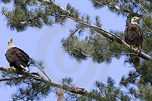 Two American Bald Eagles Royalty Free Stock Images - Image: 14730309