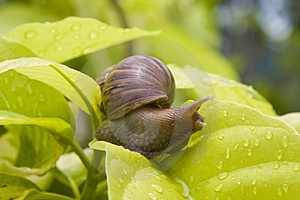 Snail Royalty Free Stock Photography - Image: 14731207