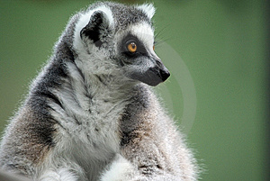Contemplating Lemur Royalty Free Stock Photography - Image: 14735297