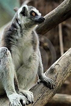 Balancing Lemur Royalty Free Stock Photo - Image: 14735325