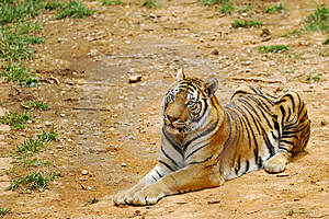 Tiger Stock Photography - Image: 14735392
