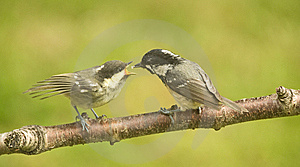 Coal Tit Fledgling Being Fed . Periparus Ater. Stock Photography - Image: 14735642
