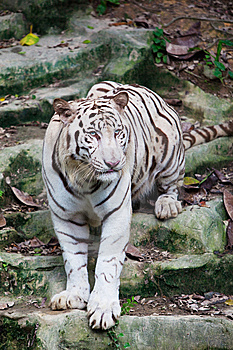 White Tiger Walking Royalty Free Stock Photo - Image: 14736915