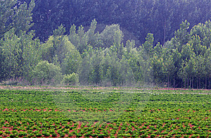 Fields And Poplar Royalty Free Stock Images - Image: 14737689