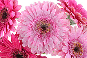 Pink Gerbera Flower Isolated On White Stock Photography - Image: 14739372