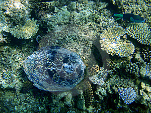 Underwater Turtle Above A Coral Reef Royalty Free Stock Photography - Image: 14741957