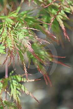 Acer Japonicum Branch Stock Photos - Image: 14743443