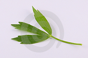 Lovage Royalty Free Stock Image - Image: 14743766