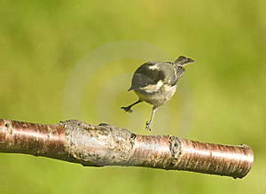 Hard Landing ? Coal Tit . Stock Photo - Image: 14744110