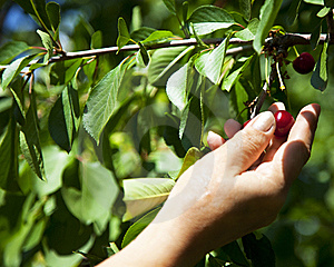Gathering A Cherry Royalty Free Stock Photo - Image: 14744895