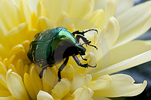 Green Bug (close Up) Stock Image - Image: 14750301