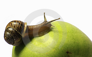 Snail On An Apple Royalty Free Stock Photo - Image: 14750575