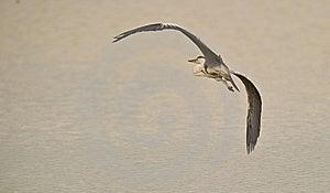 Grey Heron Taking Off Royalty Free Stock Image - Image: 14752506