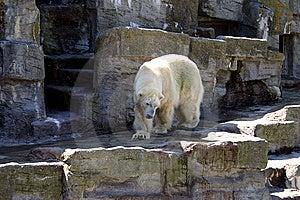 Polar Bear Stock Photos - Image: 14752643