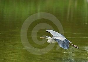 Grey Heron On Narrow Flight Royalty Free Stock Image - Image: 14756016