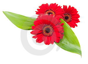 Red Gerbera Flowers With Green Leaves Royalty Free Stock Images - Image: 14758109