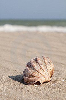 Seashell Royalty Free Stock Image - Image: 14762446