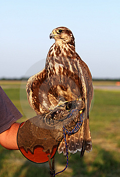 Falconer With Falcon Stock Photo - Image: 14764370