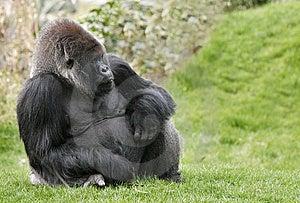 Gorilla Stock Photo - Image: 14768580