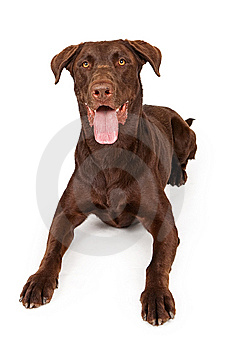 Chocolate Labrador Retriever Isolated On White Royalty Free Stock Photography - Image: 14768787
