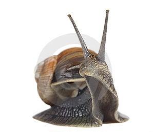 Edible Snail Royalty Free Stock Photos - Image: 14773808