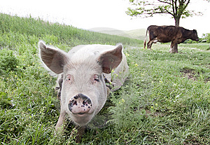 Pig and cow Free Stock Photography
