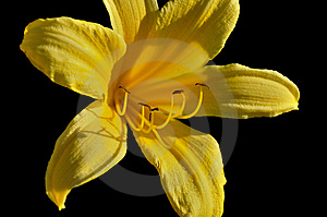 Yellow Lily In The Sunlight Royalty Free Stock Photo - Image: 14775445