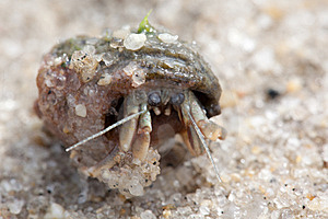 Hermit Crab Royalty Free Stock Image - Image: 14785066