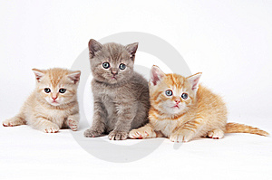 Little British Shorthair Kittens Royalty Free Stock Image - Image: 14787596