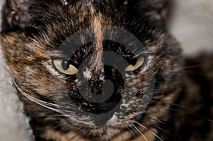 Tortoiseshell Cat Stock Photography - Image: 14788602