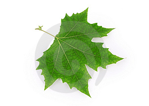 Plane Tree Leaf Stock Images - Image: 14788894