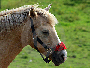 Brown Horse Wtih Red Halter Royalty Free Stock Image - Image: 14789606