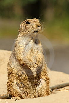 Prairie Dog Coverd With Sand Standing Upright Stock Images - Image: 14790794