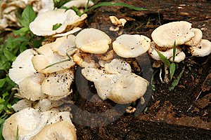 Wild Mushrooms Royalty Free Stock Images - Image: 14795159
