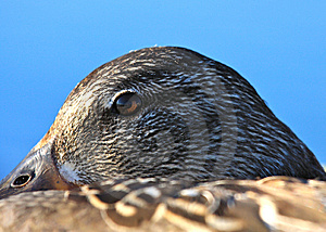 Vigilant Duck Eye Stock Image - Image: 14799871