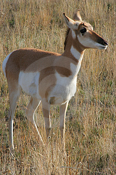 Antelope Royalty Free Stock Photos - Image: 1481638