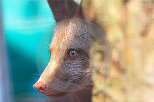Fox Peek 3 Stock Image - Image: 1482531