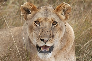 Lioness Stock Photos - Image: 1484463