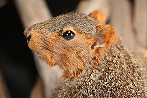 Fox Squirrel Royalty Free Stock Photography - Image: 14800517
