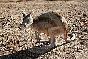 Australian Kangaroo Royalty Free Stock Images - Image: 14804679